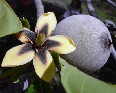 Jagua un fruit tropical